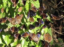 Purple butterflies, Maolin