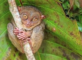 Tarsier sanctuary, Bohol, the Philippines
