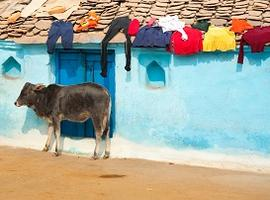 Cow in village, Bundi, Rajasthan