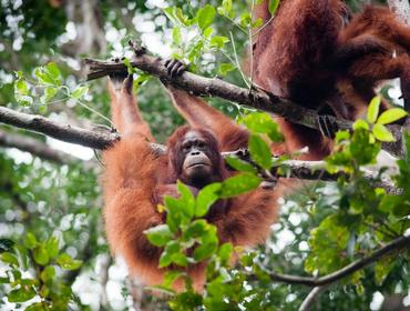 Orangutans, Tanjung Puting National Park