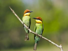 Chestnut-headed bee-eater, Khao Yai National Park