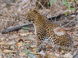 Leopard safari in Jawai