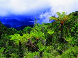 Fern Forest, Mount Wilhelm