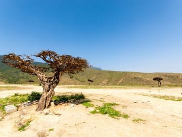 Frankincense tree in the highlands of Salalah
